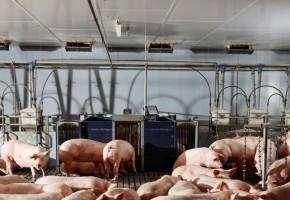Nedap Pig Sorting